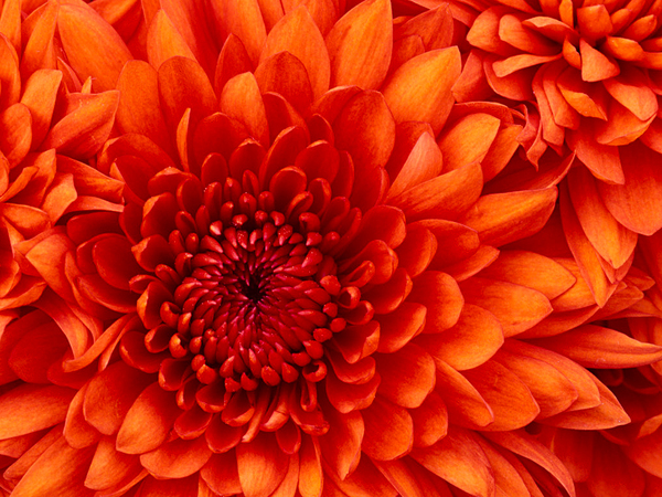 Large chrysanthemum